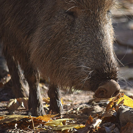 """""""Nose of Peccary"""" by MTSOfan is licensed under CC BY-NC-SA 2.0"""